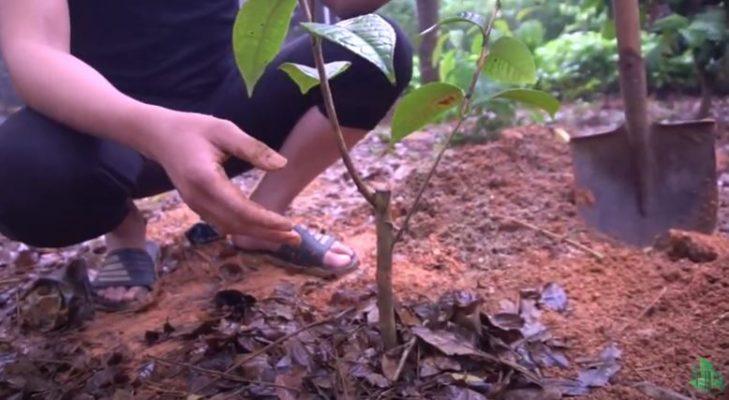Kỹ thuật trồng trà hoa vàng tốt nhất