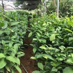 Cây trà hoa vàng Hakoda cao hơn 1m