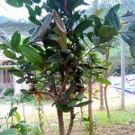 Trà hoa vàng lá dày (Camellia crassiphylla Ninh et Hakoda)