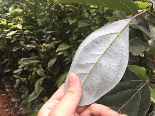 Cách trồng cây giống gù hương xá xị