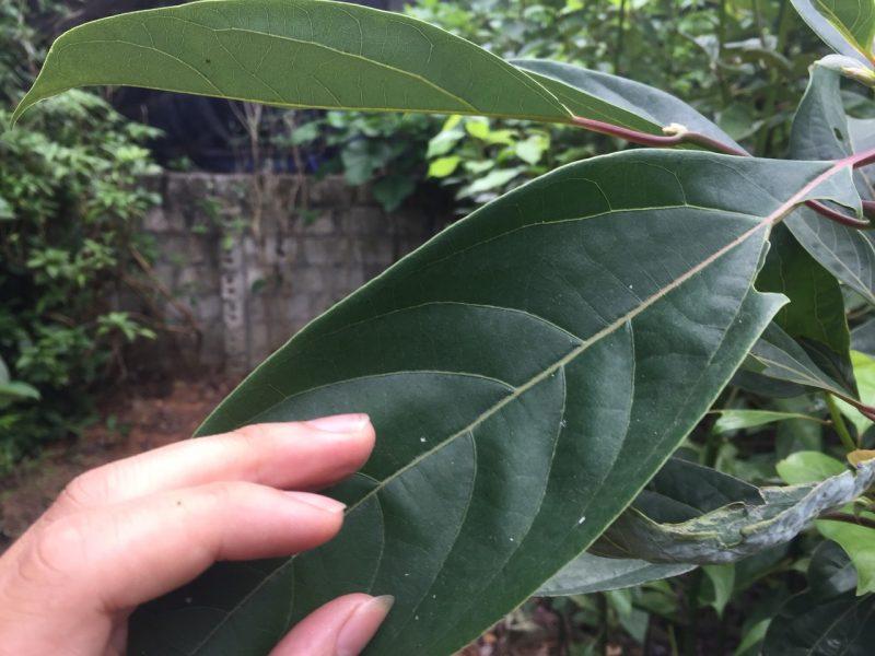 Phân biệt và kỹ thuật cách trồng cây giống gù hương