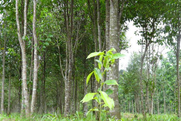 Cây trầm hương sống ở đâu? đặc điểm nhận biết cây trầm hương