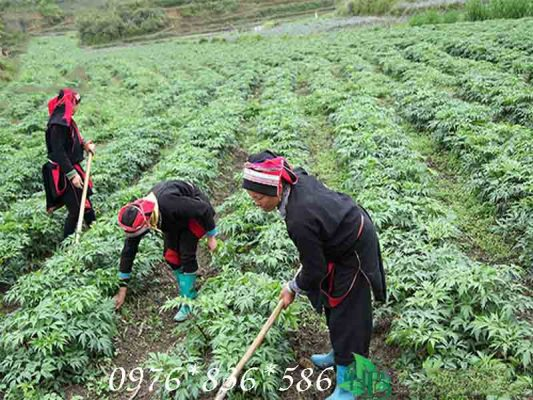 Hướng dẫn trồng sâm đương quy