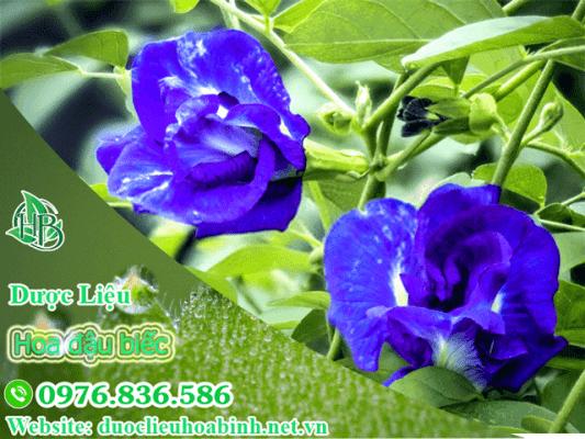 Hoa đậu biếc và một số hình ảnh về hoa đậu biếc