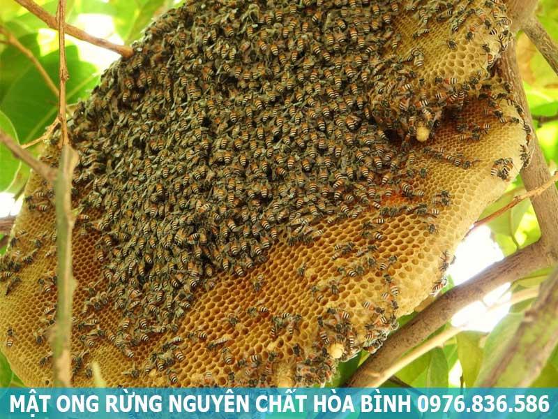 Mật ong rừng nguyên chất Hòa Bình
