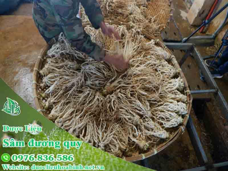 Hướng dẫn thu hoạch và chế biến bảo quản sâm đương quy