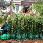 Trồng gù hương phấn trắng bao nhiêu lâu thì được thu hoạch