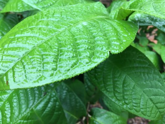 Trà hoa vàng Hakoda khác gì so với các loại trà hoa vàng khác