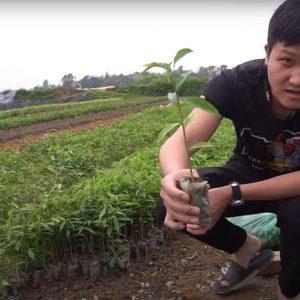 Chi tiết cây giống Dó Bầu (Trầm Hương) Tam Đảo