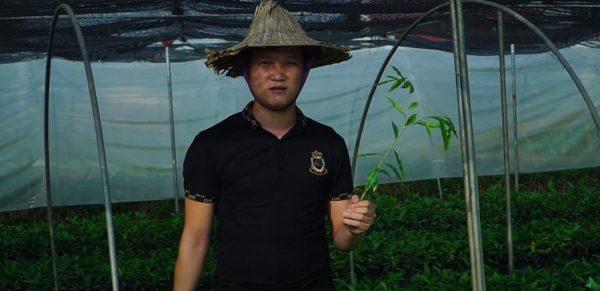 Cây giống Dó Bầu (Trầm Hương)