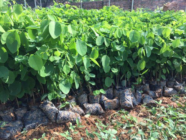 Khảo sát về cây giống gỗ trắc đỏ tại Tam Đảo