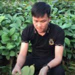 Cây giống trà hoa vàng Tam Đảo tốt nhất là loại nào