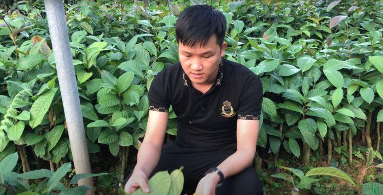 Cây giống trà hoa vàng tốt nhất là loại nào