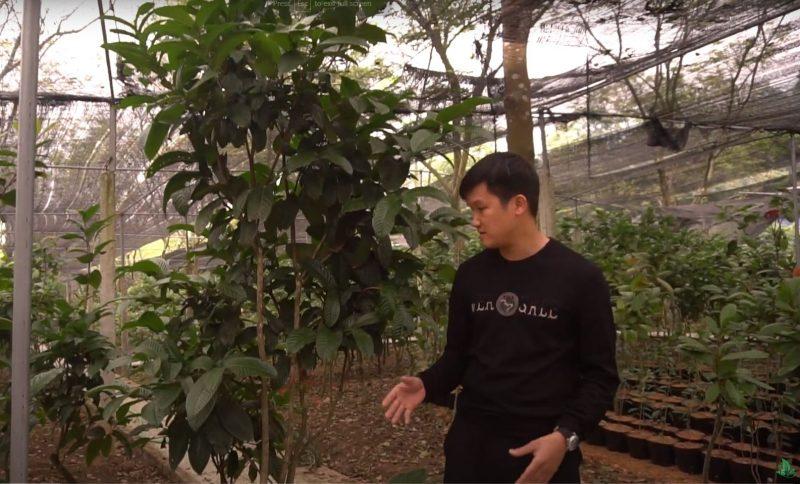 Chi tiết những loài trà hoa vàng Tam Đảo tốt nhất