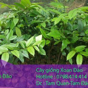 Cây giống xoan đào dự án trồng cây lâm nghiệp