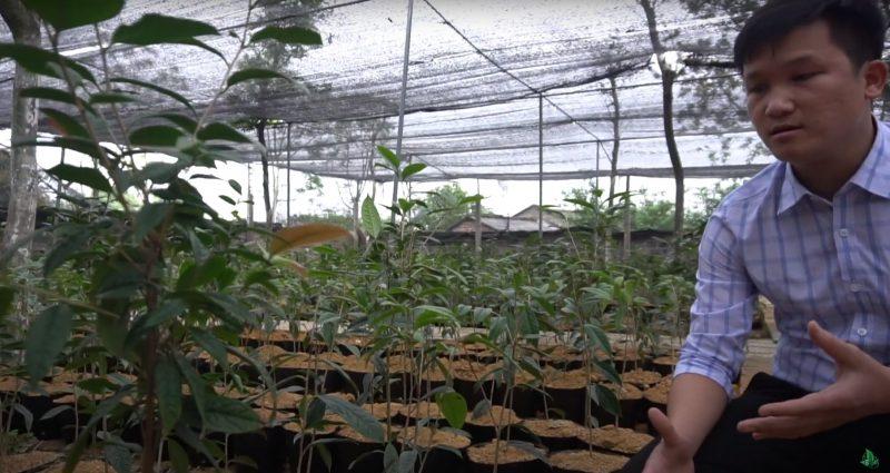 Mua cây trà hoa vàng Tam Đảo giá rẻ cây trà hoa vàng giả mạo