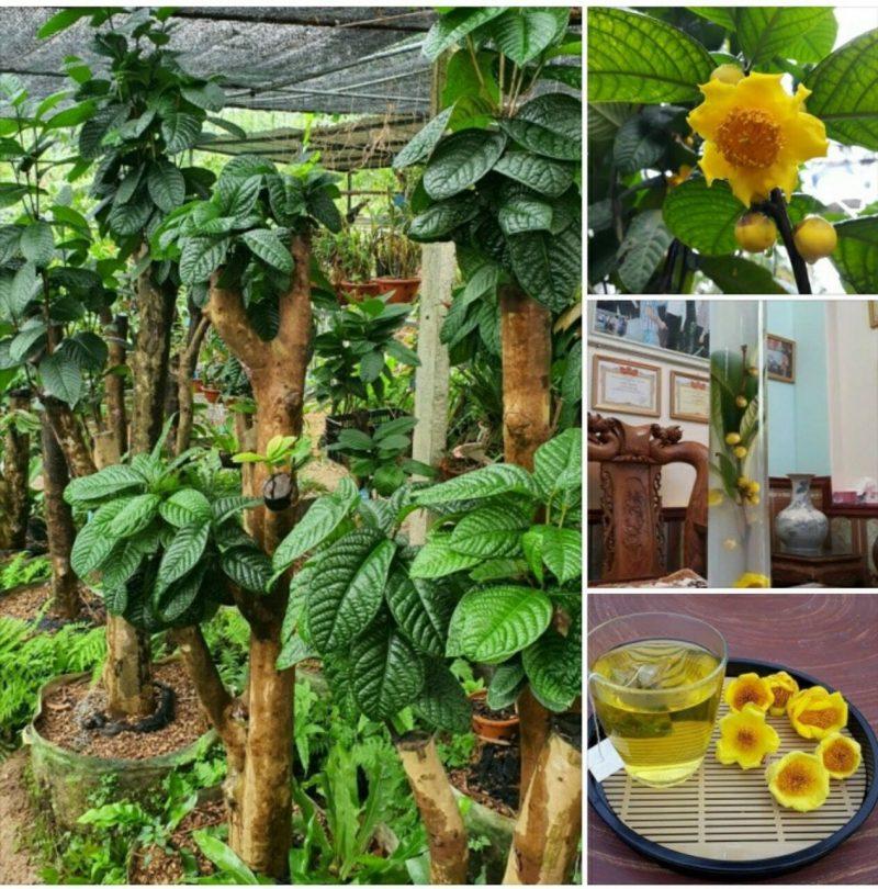 Trung tâm nghiên cứu và phát triển giống cây trà hoa vàng Tam Đảo