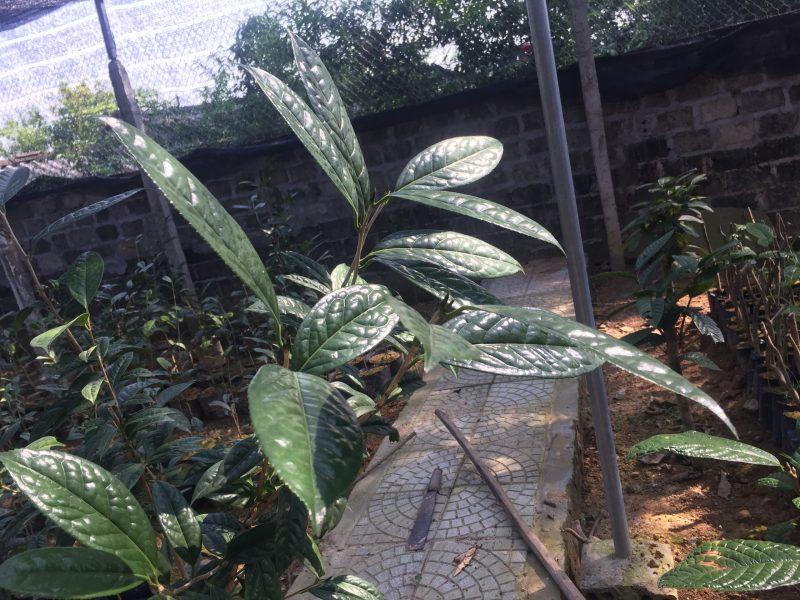 Trung tâm cây giống trà hoa vàng Tam Đảo
