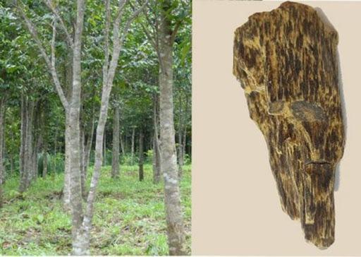 Nguồn gốc của trầm hương 5 công dụng đặc biệt của Trầm Hương