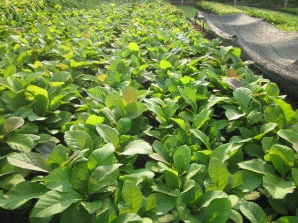 Kỹ thuật trồng cây giá tỵ giống ( Gỗ Tếnh)