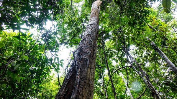 Tác dụng của cây gỗ trắc đỏ