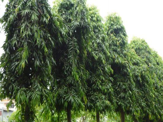 Đặc tính sinh thái cây Hoàng Nam (Liễu Ấn Độ)