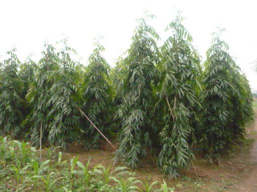 Cây giống Hoàng Nam (Liễu Ấn Độ)