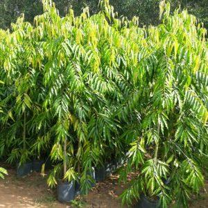 Cách trồng và chăm sóc cây Hoàng Nam