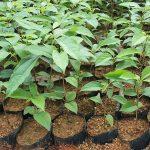 Trồng cây giống gù hương ( Xá Xị ) bán cho ai