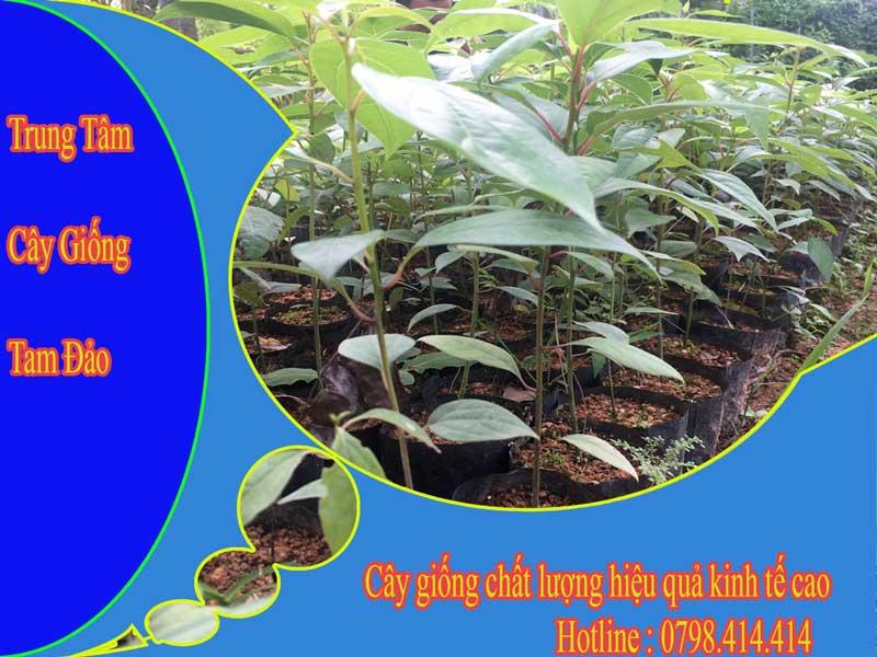 Khoảng cách trồng cây gù hương giống