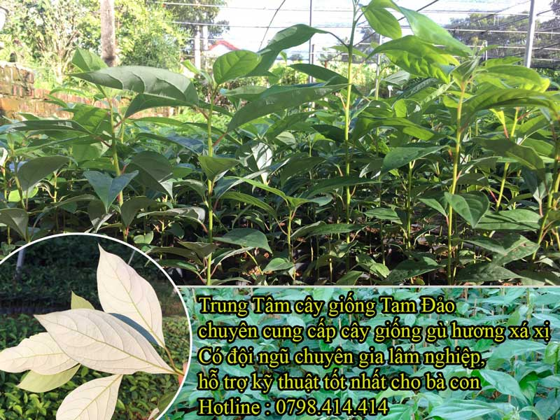 Tiêu chuẩn trồng cây giống Gù Hương Xá Xị