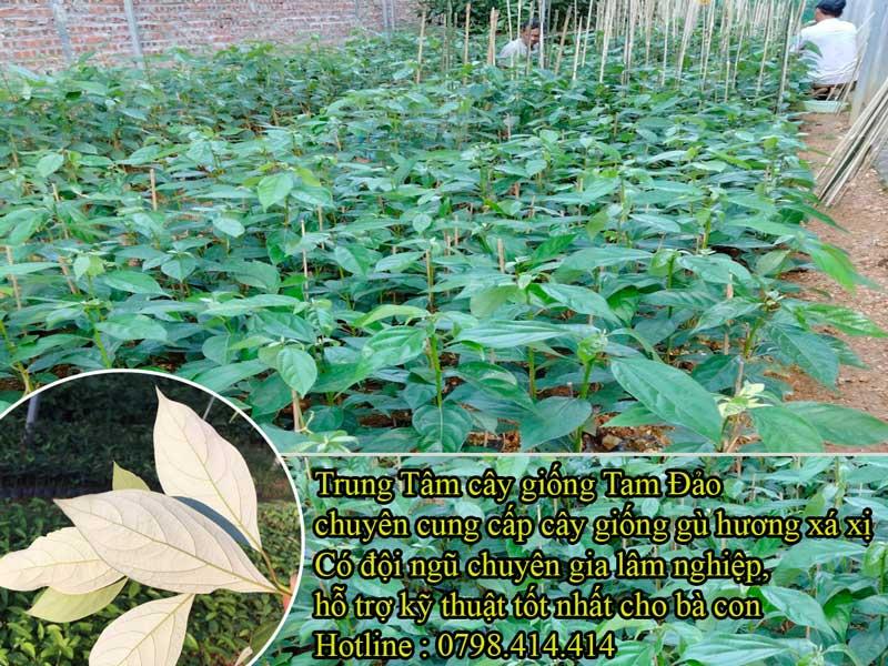 Kỹ thuật trồng cây gù hương Xá Xị