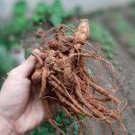 Quá trình sinh trưởng và phát triển của cây tam thất bắc