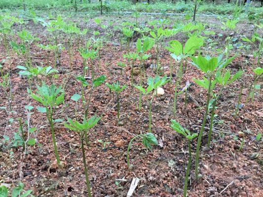 Cách trồng cây tam thất bắc hiệu quả