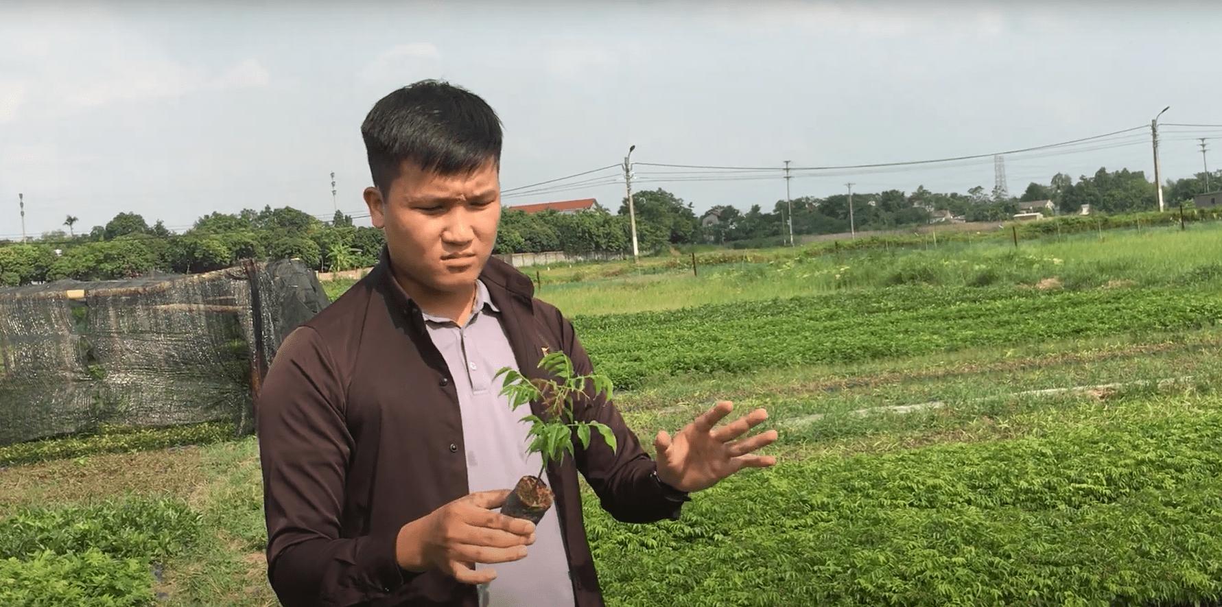 Cách trồng cây giống lim xanh chuẩn khoa học