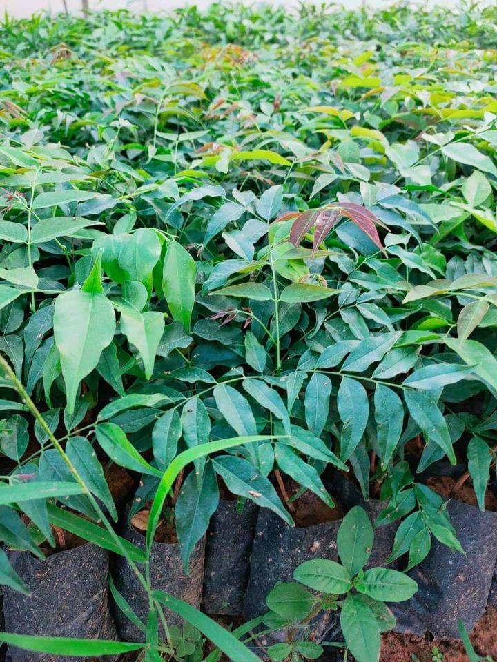 Kỹ thuật trồng cây giống Lim xanh