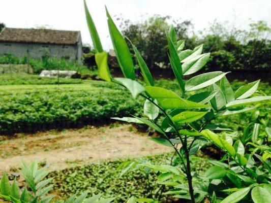 Kỹ thuật trồng cây sưa đỏ chuẩn khoa học