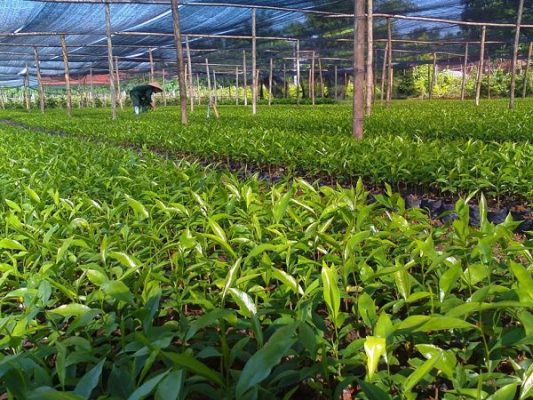 Cách lựa chọn cây giống trầm hương (dó bầu) mang lại năng suất cao