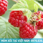 Cây mâm xôi trồng được ở Việt Nam