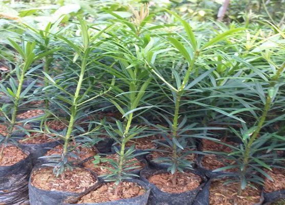Địa chỉ cung cấp cây giống Tùng la hán