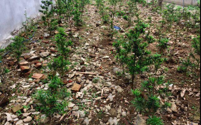 Kỹ thuật trồng cây tùng la hán