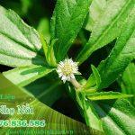 Cách dùng cỏ Nhọ nồi(cỏ Mực) hỗ trợ điều trị đau dạ dày