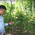 Kỹ thuật chăm sóc cây đàn hương mang lại hiệu quả kinh tế cao