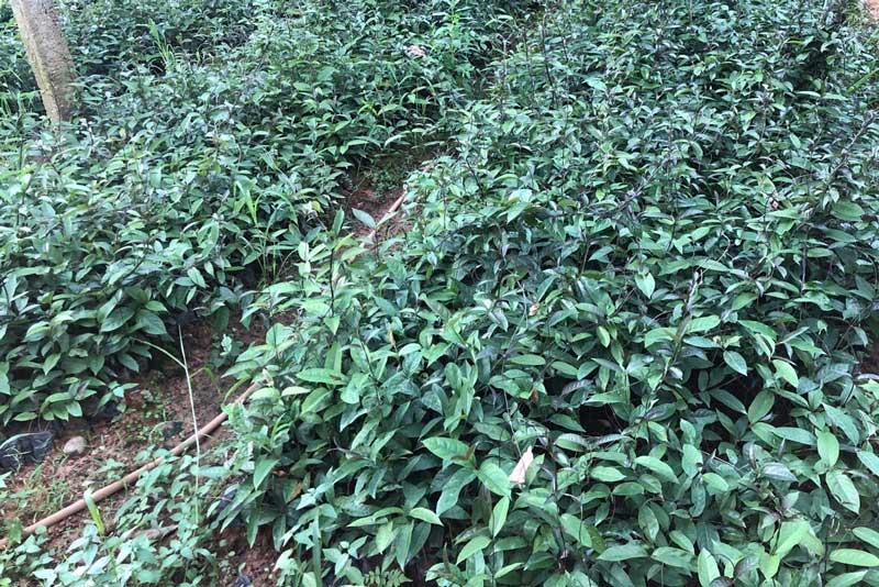 Cách trồng cây giống ba kích chuẩn khoa học
