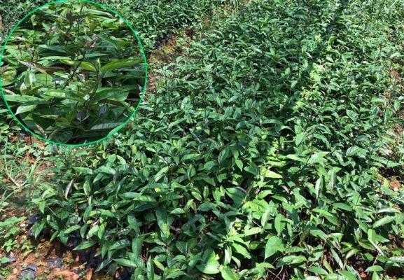 Kỹ thuật trồng cây giống ba kích