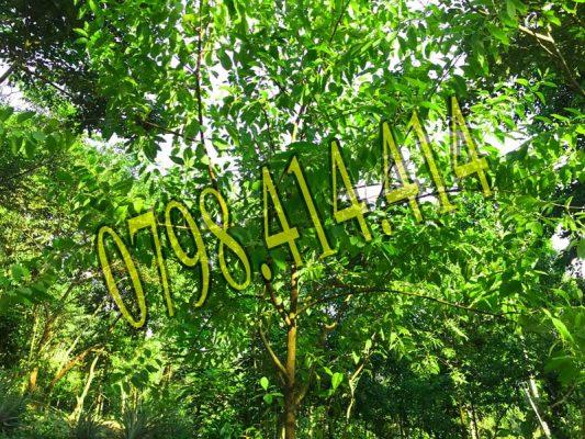 Lịch sử di sản cây đàn hương trắng Ấn Độ