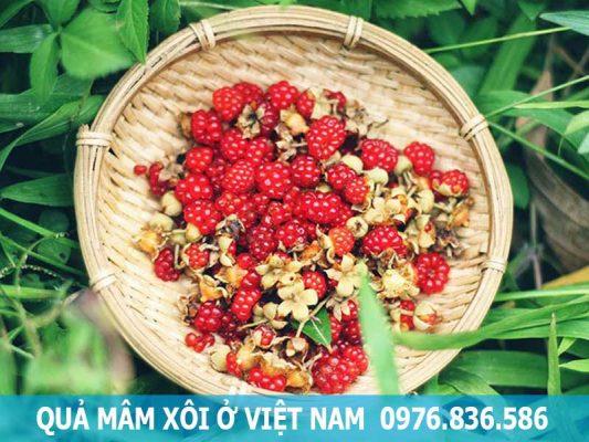quả mâm xôi ở Việt Nam