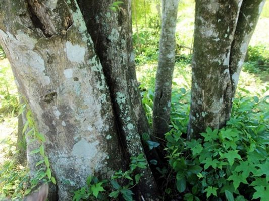 Kỹ thuật trăm sóc cây trầm hương và cách tạo trầm cho cây mang lại kinh tế cao