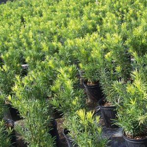 Kĩ thuật trồng và cách chăm sóc cây tùng la hán