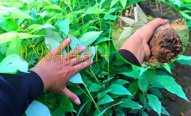 Xu hướng trồng cây gù hương đang thịnh hành